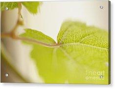 Green Grapevine Leaf Acrylic Print by Sami Sarkis