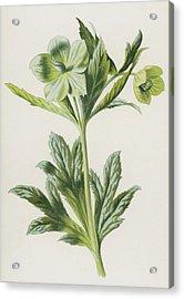 Green Hellebore Acrylic Print by Frederick Edward Hulme