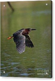 Green Heron In Flight Acrylic Print by Douglas Stucky