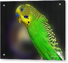 Green Parakeet Portrait Acrylic Print by Jai Johnson