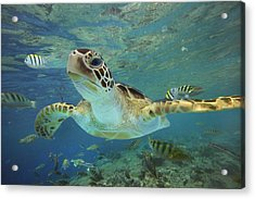 Green Sea Turtle Chelonia Mydas Acrylic Print by Tim Fitzharris