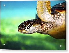 Green Sea Turtle Acrylic Print by Marilyn Hunt