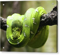 Green Tree Python Acrylic Print by Andy Wanderlust