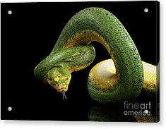 Green Tree Python. Morelia Viridis. Isolated Black Background Acrylic Print by Sergey Taran