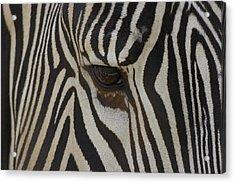 Grevys Zebra Equus Grevyi Close Acrylic Print by Zssd