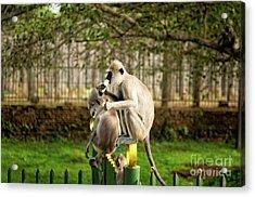 Grey Langur Monkey At Anuradhapura  Acrylic Print by Venura Herath