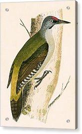 Grey Woodpecker Acrylic Print by English School
