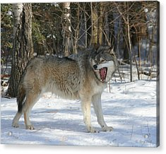 Grizzer Talking Trash Acrylic Print by Gerry Sibell