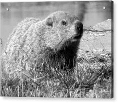 Groundhog Acrylic Print by Erika Kennedy