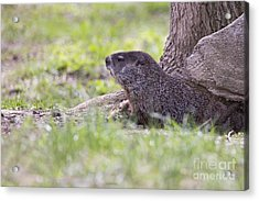 Groundhog Acrylic Print by Twenty Two North Photography
