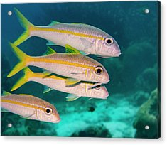 Group Of Goatfish Acrylic Print by Jean Noren