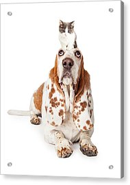 Guilty Looking Basset Hound Dog Laying   Acrylic Print by Susan Schmitz
