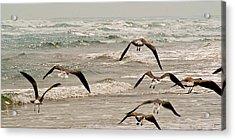 Gulf Gulls Acrylic Print by Michael Flood