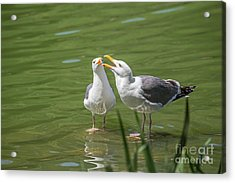 Gulls Courting Acrylic Print by Kate Brown