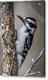 Hairy Woodpecker Acrylic Print by Paul Freidlund