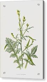 Hedge Mustard Acrylic Print by Frederick Edward Hulme