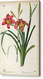 Hemerocallis Fulva Acrylic Print by Pierre Joseph Redoute