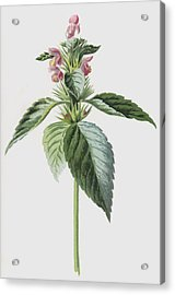 Hemp Nettle Acrylic Print by Frederick Edward Hulme