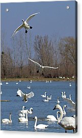 Here Come The Swans Acrylic Print by Bill Lindsay