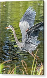 Heron Liftoff Acrylic Print by Kate Brown