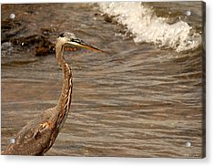 Heron Supper Acrylic Print by Greg Simmons