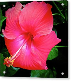 Hibiscus Blossom Acrylic Print by Tony Grider