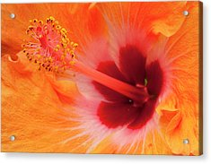 Hibiscus Close-up Acrylic Print by Andrew Soundarajan