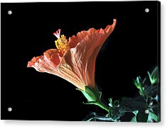 Hibiscus Vein Acrylic Print by Terence Davis