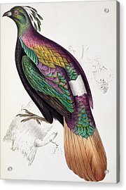 Himalayan Monal Pheasant Acrylic Print by John Gould