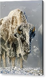 Hoarfrosted Bison In Yellowstone Acrylic Print by Sandra Bronstein