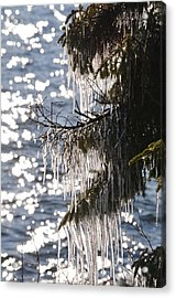 Holiday Icicles On Pine Tree Acrylic Print by Hella Buchheim