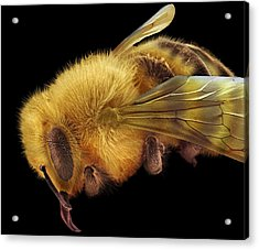 Honey Bee, Sem Acrylic Print by David Mccarthy