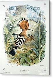 Hoopoe Acrylic Print by Edouard Travies