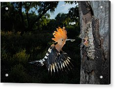 Hoopoe In Flight Acrylic Print by Andres Miguel Dominguez