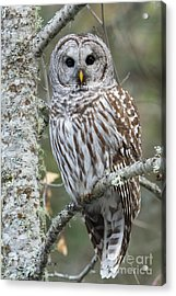 Hoot Hoot Hoot Are You Acrylic Print by Beve Brown-Clark Photography