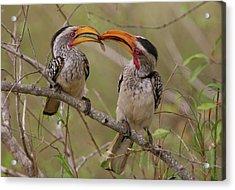 Hornbill Love Acrylic Print by Bruce J Robinson