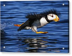 Horned Puffin  Fratercula Corniculata Acrylic Print by Marion Owen