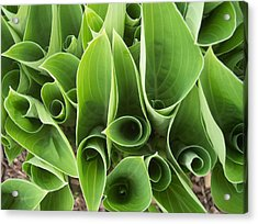 Hostas 4 Acrylic Print by Anna Villarreal Garbis