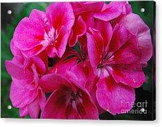 Hot Pink Geranium Acrylic Print by Sharen Duffing