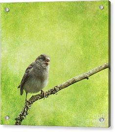 House Sparrow Chick Acrylic Print by Liz Leyden
