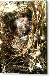 House Wren Family Acrylic Print by Angie Rea