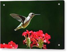 Hovering Hummingbird Acrylic Print by Christina Rollo