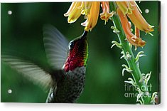 Hummingbird 2 Acrylic Print by Chandra Nyleen