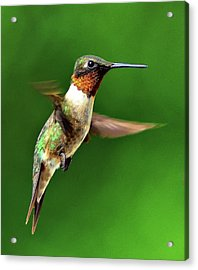 Hummingbird In Mid-air Acrylic Print by Jeff R Clow