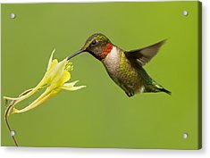 Hummingbird Acrylic Print by Mircea Costina Photography