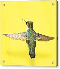 Hummingbird On Yellow 4 Acrylic Print by Robert  Suits Jr