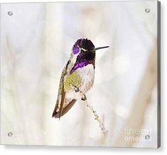 Hummingbird Acrylic Print by Rebecca Margraf