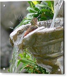 Hummingbirds Do Take Baths Acrylic Print by Jennie Marie Schell