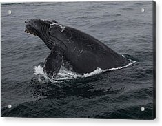 Humpback Whale Breach Acrylic Print by Tory Kallman