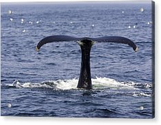 Humpback Whale Swimming Acrylic Print by Tim Laman